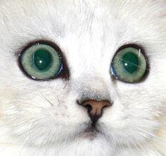 Green eyes with mascara=chinchilla Persians eyes!  Beautiful!