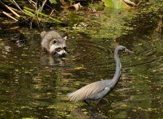 Bird Watching (and Raccoon Watching) in Corkscrew Swamp Sanctuary.