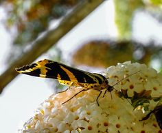 Jersey Tiger moth (Euplagia quadripunctaria) by darrenellis