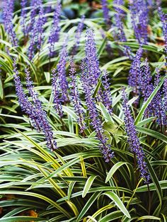 Our 17 Favorite Perennials That Thrive in Shady Gardens Lilyturf (Liriope) is an easy-to-grow favorite of the flowering shade plants. Loved for its grassy foliage and spikes of blue or white flowers in late summer, as well as its resi Flowering Shade Plants, Dry Shade Plants, Shade Garden Plants, Garden Shrubs, Tall Plants, Shaded Garden, Shrubs For Dry Shade, House Plants, Shade Flowers
