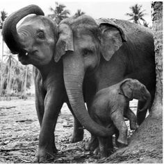 "elephant family, so beautiful. acidgypsy ""Elephants have been known to die of broken hearts if a mate dies. They refuse to eat and will lay down, shedding tears until they starve to death. They refuse all human help. Elephant Family, Elephant Love, Cute Baby Animals, Animals And Pets, Wild Animals, Beautiful Creatures, Animals Beautiful, Elephas Maximus, Elephants Never Forget"