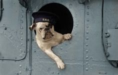"""Venus"" the bulldog mascot of the destroyer HMS Vanisittart, Royal Navy, 1941. (colorized)"