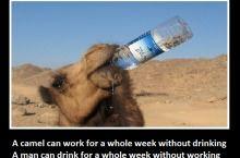 Camels...
