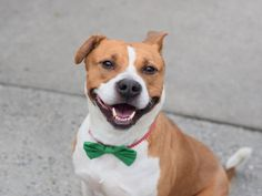 BRUCE - A1062494 - - Brooklyn  TO BE DESTROYED 01/13/16 **NEW HOPE RESCUE ONLY** Bruce is a handsome four year old Pitty Basenji mix that entered the ACC of NYC on Friday. He was a calm, loose bodied, and easy to handle. His owner surrendered him due to a new situation where the landlord does not allow pets. Bruce had a great owner surrender and he started off well. The trouble is the shelter does their SAFER testing quickly, and Bruce has a sick stomach for a few days. Whe