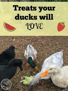 Treats your ducks will love! - The Cape Coop Backyard Ducks, Backyard Poultry, Backyard Farming, Chickens Backyard, Backyard Patio, Backyard Play, Pet Ducks, Baby Ducks, Duck Pens