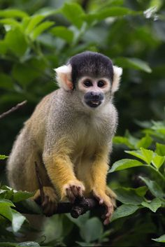 El mono ardilla boliviano (Saimiri boliviensis) es un primate de la familia Cebidae.