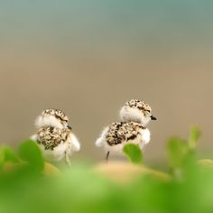 Kentish Plover birds photographed by Sushyue Liao Nature Animals, Animals And Pets, Baby Animals, Cute Animals, All Birds, Cute Birds, Little Birds, Beautiful Birds, Animals Beautiful