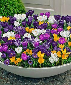 Container full of beautiful crocus flowers! Container full of beautiful crocus flowers! Container Flowers, Container Plants, Container Gardening, Garden Bulbs, Garden Pots, Bulb Flowers, Flower Pots, Beautiful Gardens, Beautiful Flowers