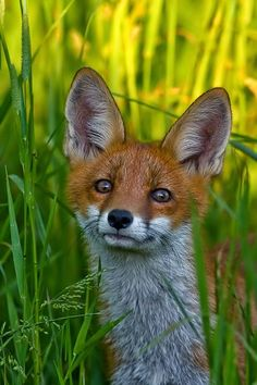 Fox in tall grass... pretty.