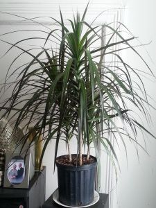Dracaena Plant, Plant Pests, Air Cleaning Plants, Air Plants, Indoor Plants, Madagascar Dragon Tree, Indoor Trees, Compact