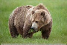 Grizzly (Brown bear) Katmai National Park