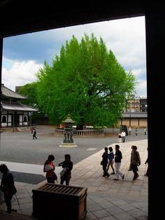 度々行きたい旅。: 京都駅駅から歩いて行く旅:西本願寺境内の大銀杏は、秋には黄金色が見事です!