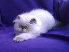 seal point persian kittens | Seal Point Persian Cat...