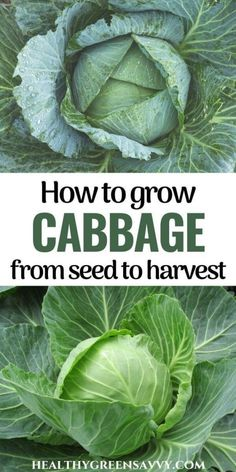 Extend the season with this cold-hardy and super-healthy crop! Here's what to know about growing cabbage in your garden this season. #gardeningtips #vegetablegardening #wintergarden #cabbage Organic Vegetables, Growing Vegetables, Fruits And Veggies, Vegetable Garden, Garden Plants, Growing Cabbage, Natural Garden, Cleaning Recipes, Delicious Fruit