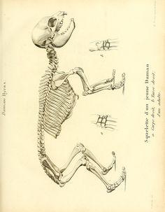 t. 2 (1812) - Recherches sur les ossemens fossiles de quadrupèdes : - Biodiversity Heritage Library