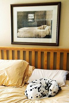 Dalmatian sleeps on bed, under a picture of a dog sleeping on a bed :-) #dogs