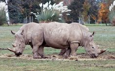 Two rhinos morph into a pushmi-pullyu creature from Doctor Dolittle as they cross paths just as a visitor took a photo. Dean McCarthy, a civil engineer from Ferndown, Dorset, photographed what appears to be a two-headed animal at the Cotswold Wildlife Park near Burford, Oxon.  Picture: Dean McCarthy/BNPS