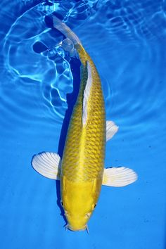 Kigoi we had a beautiful yellow koi like this and she for Yamabuki ogon koi for sale