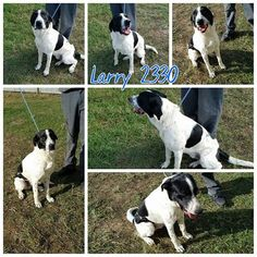 11/17/16-Smith County Tyler TX Larry 2330 Collie Male Wht blk 18 months 52 lbs Cr 49 No chip https://docs.google.com/…/1GyuqfYsljTPBnM8I6VoTcc…/viewform… Individuals wishing to adopt please fill out the form above. Please only fill out if you are serious about adopting.