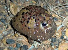 The crucifix frog is a medium-sized frog, about 1.8 to 2.6 inches (4.5 to 6.5 centimeters) long, with short limbs, large eyes and a round, vibrantly colored body. Crucifix Frog Facts!