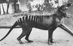 Benjamin, The Last Tasmanian Tiger (1936)