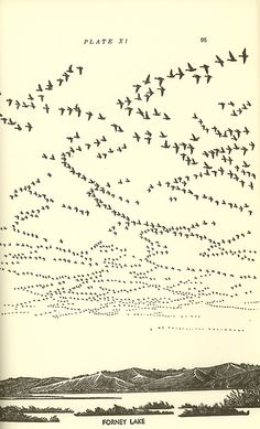 """Illustration """"Forney Lake"""" from the book, Waterfowl in Iowa Source: The Bookworks #books #waterfowl #birds #vintage #litho #illustration #Iowa #beautiful"""