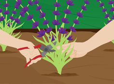 If you're planning what your going to plant in your garden this spring, here's some tips on how to grow lavender. #homesfornature