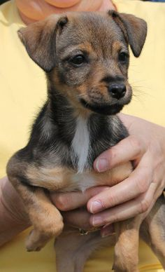Delilah is a 10-week-old female Chiweenie (Chihuahua/Dachshund) mix. She is a precious little girl! Her coat is a mixture of tan, black, and white. Delilah is a bundle of energy! In fact she would hardly be still for her pictures. This active puppy...