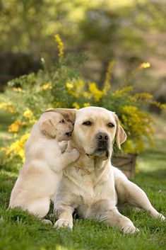 LABRADORS DE CHANTEMELSE : elevage canin de labrador retriever Plus #labradorpuppy #labradorretriever - Telling secrets