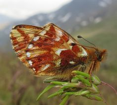 Ventral view of a Shepherd's Fritillary(Boloria pales) photographed by Karen Nichols in the Italian Alps on 7th July 2015