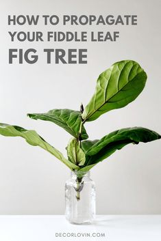 Learn how to propagate your fig tree. This is the easiest and most successful propagation technique for fiddle leaf fig trees! Fig Leaf Tree, Fig Leaves, Ficus, Plant Growth, Plant Care, Popular House Plants, Plantas Indoor, Fiddle Leaf Fig Tree, Fertilizer For Plants
