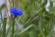 My favourite flower in full bloom | par jpskoubo2016