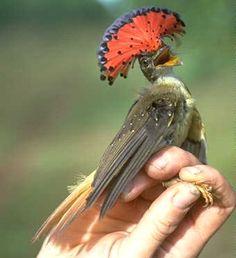Este colorido pájaro see puede encontrar en las tierras forestales de la cuenca del Amazonas. Es muy rápido y puede cazar insectos en pleno vuelo. Construye sus nidos sobre el agua para que a los depredadores le sea muy difícil alcanzarlos.