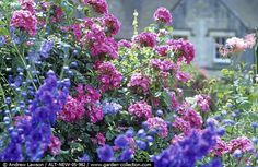 Roses and Delphiniums at Sleightholmedale Lodge, Yorkshire Andrew Lawson