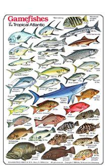 Hawaiian Fish ID Chart | Game Fish of the Tropical Atlantic Identification and Dive Slate,