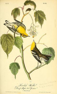v 2 - Las aves de América: - Biodiversity Heritage Library