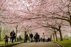 En af de stensikre forårsbebudere, både herhjemme og ikke mindst i Japan, er når kirsebærtræerne blomster.  De sidste par år, har jeg set billeder fra Bispebjerg kirkegård, af de flotte kirsebærtræer i blomst, -og da jeg alligevel skulle derudaf, var der ikke langt fra tanke til handling. Muligvis var det ikke den bedste dag jeg valgte, både på grund af vejret og vinden... #Kirsebærtræer #Bispebjerg #Bispebjergkirkegård #Cherryblossom #Cherrytrees