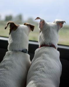 Backseat Barkers #jrt #jackrusselterrier
