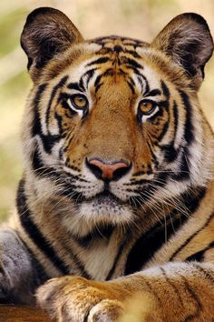 """Portrait of 19 month old male Bengal Tiger (Panthera tigris tigris).""  by Lonely Planet Images"