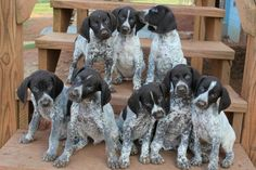 german shorthaired pointer pups - Google Search