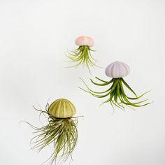 Medusa - Luftpflanzen (Tillandsien) im Seeigel. So wie auf dem Foto zu sehen, wird die Pflanze kopfüber mit einem Nylonfaden aufgehängt. Dadurch wirkt es als würde die Pflanze in der Luft schweben. Mit dem Seeigelskelett als Kopf ähnelt sie einer Qualle. Sie macht sich super als Fensterschmuck, entweder einzeln oder mehrere zusammen.