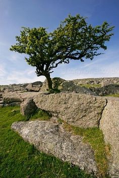 There is a tradition in Ireland that a single Hawthorn growing in the middle of a field is a faerie tree, as the Hawthorn was seen in Celtic mythology as a gateway to the otherworld.