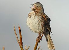 Fox Sparrow Identification All About Birds Cornell Lab Of Ornithology
