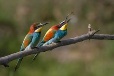 European Bee-eater (Merops apiaster) by Pierre Dalous, wikimedia: During courtship the male feeds large items to the female while eating the small ones himself. here, the female (in front) awaits the offering which the male will make. http://en.wikipedia.org/wiki/European_Bee-eater #Birds #European_Bee_eater