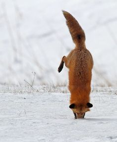 This is how foxes hunt in the snow.  They hear mice, voles, etc. moving under the snow and dive in to nab them.