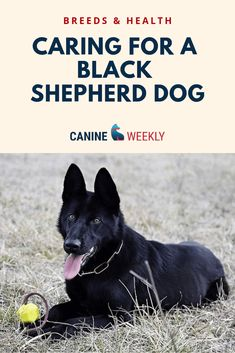 Wicked Training Your German Shepherd Dog Ideas. Mind Blowing Training Your German Shepherd Dog Ideas. Black Shepherd, Black German Shepherd Dog, German Shepherd Training, German Shepherd Puppies, German Shepherds, Pointer Puppies, Gsp Puppies, Puppy Classes, Dog Activities