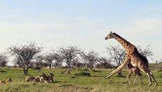 Bill e Barbara Westbrook filmaram uma girafa a proteger sozinha o seu filhote de um grupo de leões, provando que nada é mais feroz que o instinto maternal.