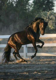 Morgan stallion :)  photo: Miscellaneous