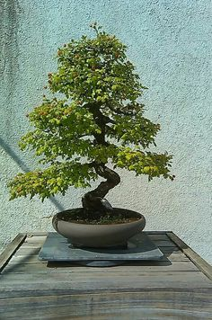 National bonsai & penjing museum ✖️No Pin Limits✖️More Pins Like This One At FOSTERGINGER @ Pinterest✖️