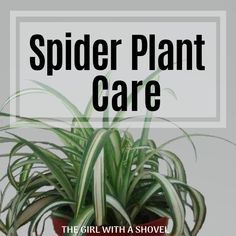 The 3 Keys to Spider Plant Care | The Girl with a Shovel Aloe Plant Care, Snake Plant Care, Self Watering Pots, Low Light Plants, Palm Plant, Plant Guide, Low Maintenance Plants, Spider Plants, Bedroom Plants